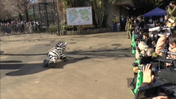 Japanese Zookeeper, Costumed Like Zebra, Conducts Mock Zoo Escape