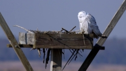 Animal Rights Group Files Lawsuit Over Snowy Owls Shot at JFK