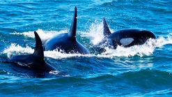 Scuba Diving Couple Encounters Killer Whales