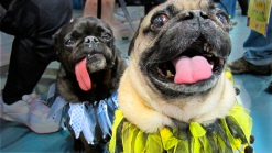 Cute Pug Pups On Parade