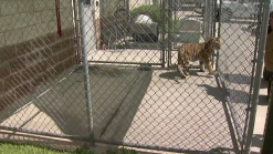 Couple Finds Pet Tiger Roaming Texas Neighborhood
