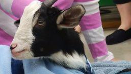 Wheelchair for Two-Legged Goat