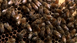 'Zombie' Bee Parasite Threatens Already Struggling Bee Population