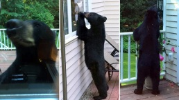 Bear Spotted Snooping on Back Porch in Connecticut