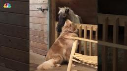 Golden Retriever Helps Neglected Mini Rescue Horse