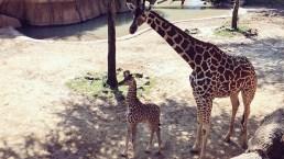 Baby Giraffe Makes Public Debut at Dallas Zoo
