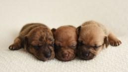 Newborn Photoshoot Features Adorable Tiny Puppies
