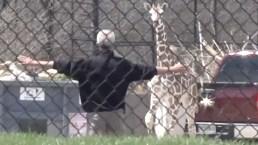 Giraffe Escapes Enclosure for Zoo Adventure