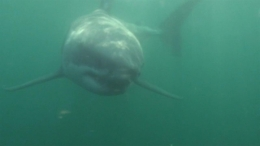 Great White Shark Spotted Near Hamptons