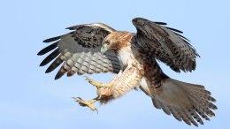 Long Island Pigeon Enthusiast Admits He Killed Hawks