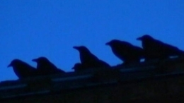 Crows Invade College Town