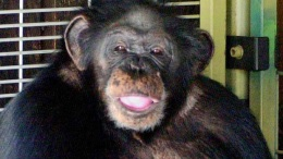 'He's Eating Her! Shoot Him!' Screamed Chimp's Owner