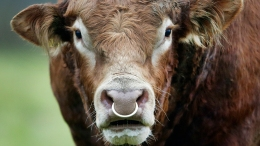 Runaway Cow Killed by Car on Long Island, Bull Gives Chase