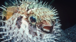 Pufferfish Poision Eases Pain