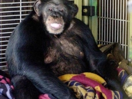 911 Recording Reveals Details of Chimp Attack in Connecticut