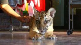 Tiger Cub Found Roaming California Neighborhood