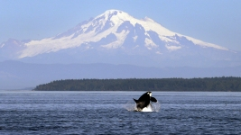 Baby Orca's Death, Mother's Grief Call State to Action
