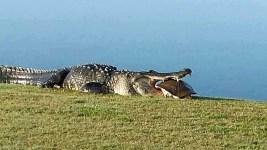 Massive Gator Spotted Again at Florida Golf Club