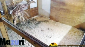 NY Zoo Giraffe Stream Banned for 'Nudity' Back After Outcry