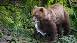 Alaska's Stunning Live Bearcam Returns
