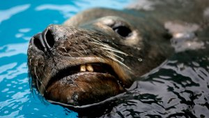 Sea Lion Recovers at SeaWorld After Harpoon Attack