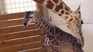 April the Giraffe's Baby Is Probably Bigger Than You
