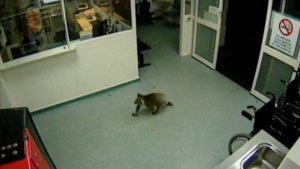Koala Bear's Unexpected Visit to a Hospital, Caught on Camera