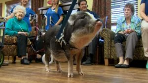 WATCH: Therapy Pigs Give Joy to Alzheimer's Patients