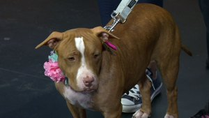 Clear the Shelters: New York Bully Crew