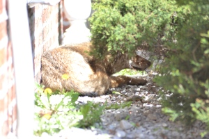 PHOTOS: Coyote On the Loose in Queens