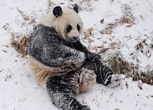Watch: National Zoo Pandas Tumble and Play in the Snow