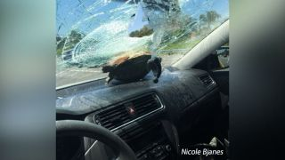 Unbelievable Animals: Airborne Turtle Smashes Windshield, Survives
