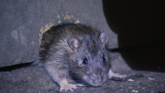 Believe it or Not: NYC Isn't the 'Rattiest City' in the US