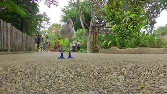 Baby Flamingo Wears Special Booties for Walks