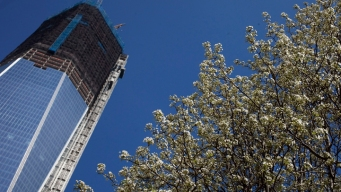 "9/11 ""Survivor Tree"" Blossoms at Start of Spring"