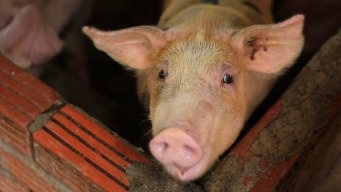 Pig Disease Spreading in Asia as Nations Struggle to Stop It