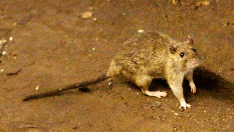 NYC Subway Riders Freak Out as Rat Runs Wild on Train