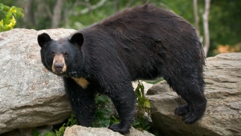 Appeals Court Upholds New Jersey's Bear Hunt
