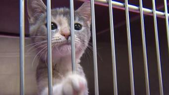 Adopt a Cat at the Humane Society of Westchester