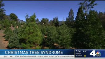 Allergic to Christmas? Some Say Trees Cause Reactions