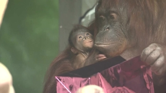 Baby Orangutan: Zoo's Newest Star