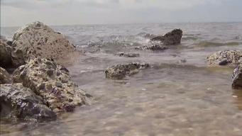 Brown Tide Hits Long Island Waters