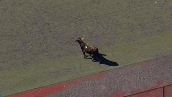 Bull on the Loose in Brooklyn