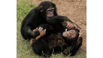 NIH's Last 50 Chimpanzees Are Retiring