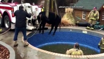 Cow Rescued From Pool