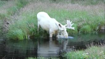 Video of Rare White Moose Goes Viral