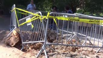 Fallen Central Park Tree Had Rotted Roots