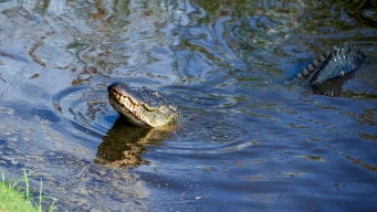 Police in Tenn. Warn That Flushing Drugs Could Lead to 'Meth-Gators'
