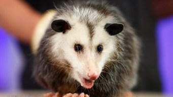Opossum Breaks Into Florida Liquor Store and Gets Drunk