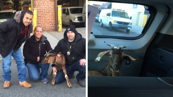 Cops Pay $40 to Rescue Goat That Escaped Slaughterhouse